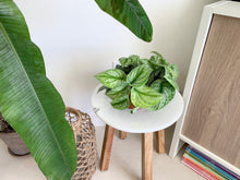 Load image into Gallery viewer, Silver Satin Pothos Houseplant