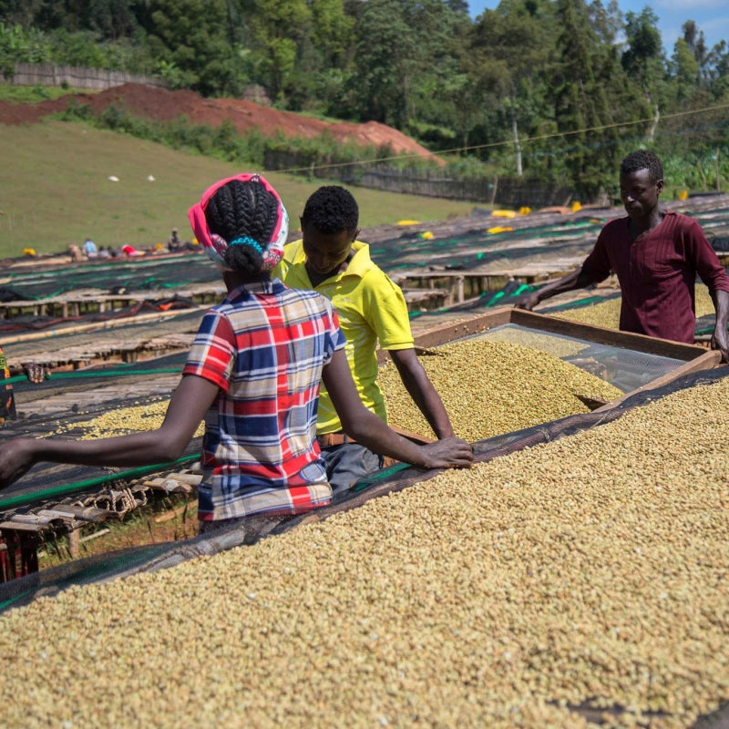 Gardelli Coffee, Shantewena, Competition Series, Ethiopia, Quality Score 90.50