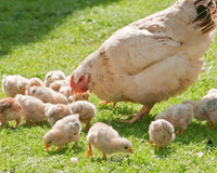 What You Need to Start Raising Backyard Chickens
