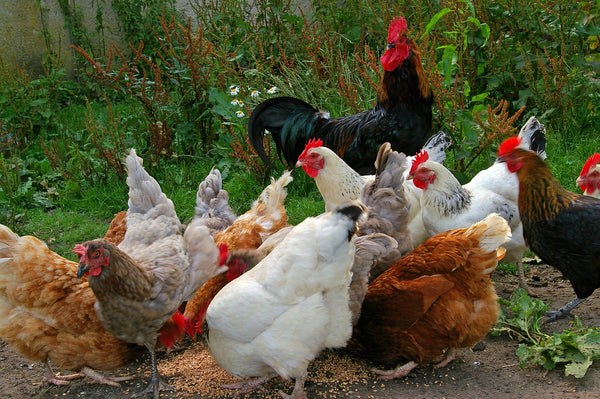 Raising Backyard Chickens – Everything You Should Know Before Starting
