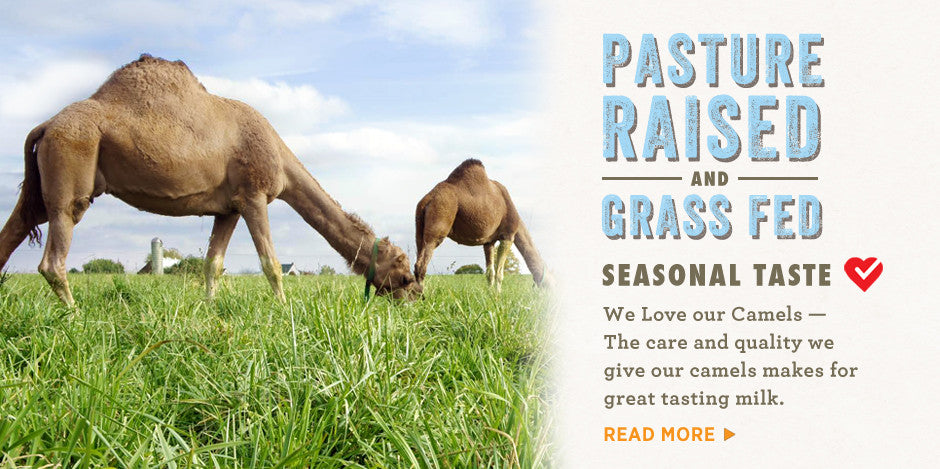 Camels are all grass fed and pasture raised