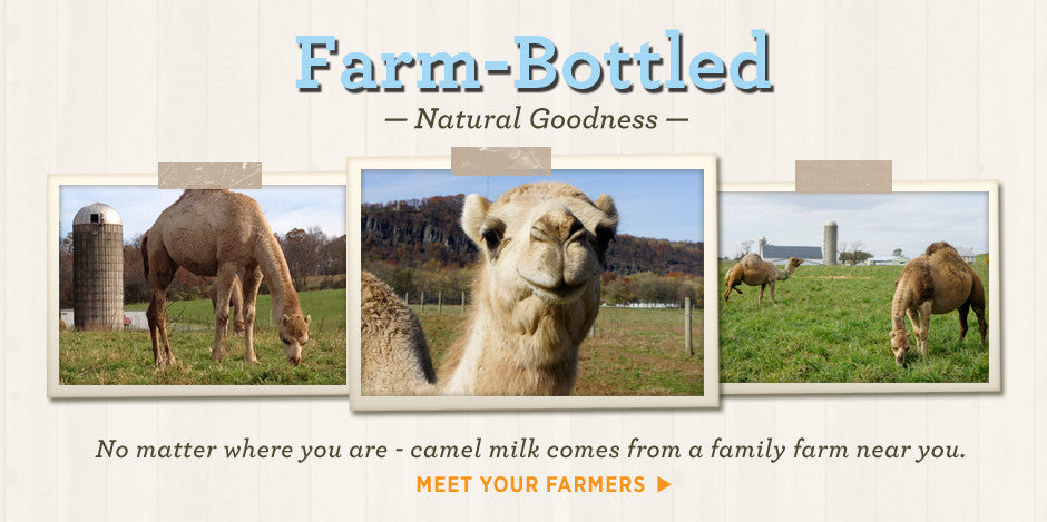 Camel milk is farm bottled