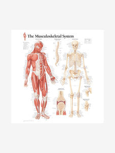 Musculoskeletal System Male Laminated Poster