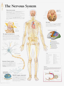The Nervous System Laminated Poster