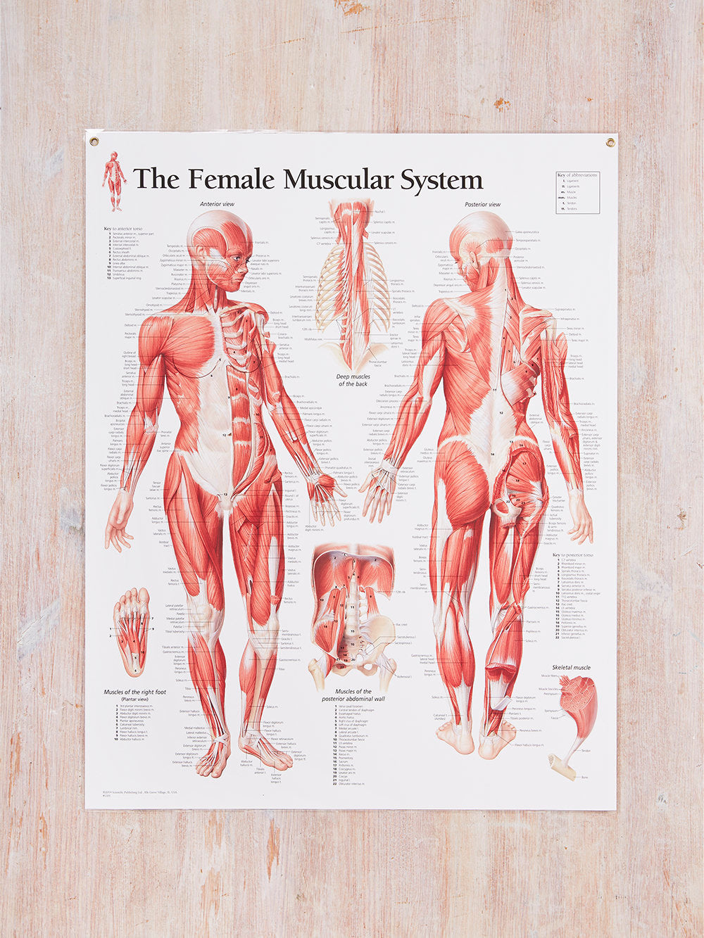 Muscular System Female Laminated Poster