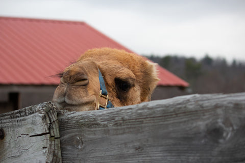 Marvin the baby camel at Alta Vista Farm in Rutland MA