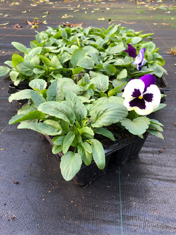 Pansy white blue blotch 6 pack