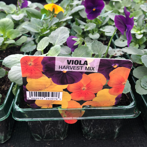Viola Harvest Mix 6 Pack