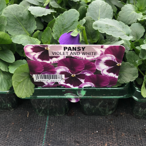 Pansy Violet and White 6 pack