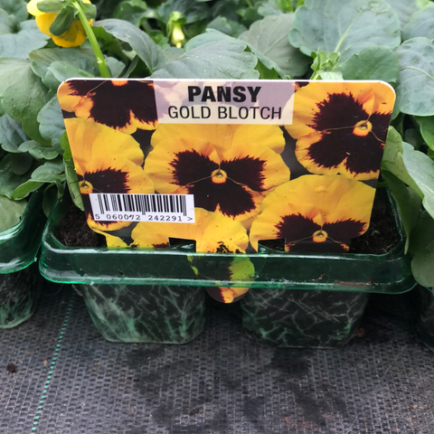 Pansy Gold Blotch 6 pack