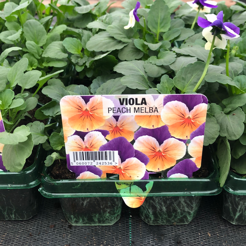 Viola Peach Melba 6 pack