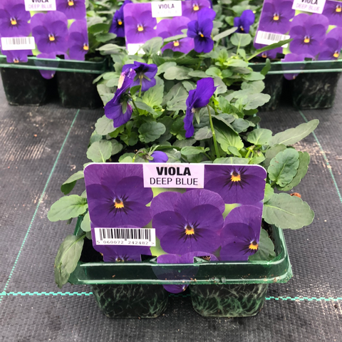 Viola Deep Blue 6 pack