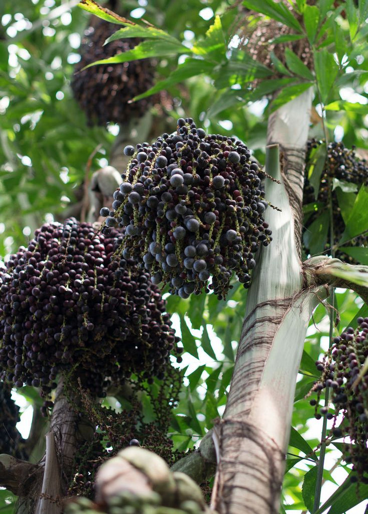Acai Berry Oil: The Skin Warrior Ingredient