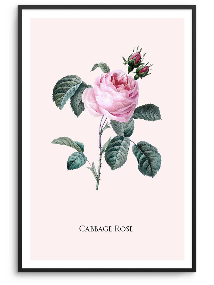 CABBAGE ROSE - DEKORATİF BASKI