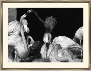 framed fine art print of b&w photograph of flamingos