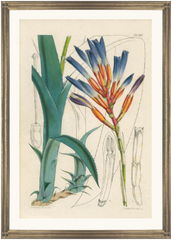 framed fine art print of antique botanical hand colored engraving