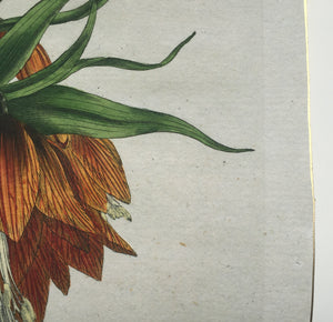 detail of antique botanical hand colored engraving fine art print with gold edge