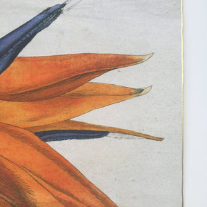 detail of Bird of Paradise antique botanical fine art print with gold edge