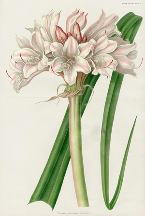 vintage botanical hand colored engraving of a pink and white lily