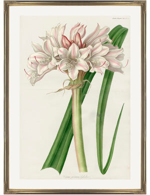 framed antique botanical fine art print of pink and white lily