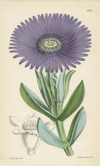 antique botanical fine art print