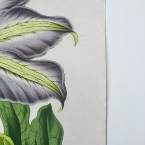 detail of antique botanical fine art print with gold edge