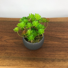 Load image into Gallery viewer, Roseum Succulent w/Luna Pot