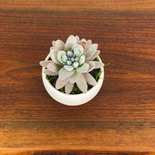 Load image into Gallery viewer, Fuzzy Peach Elf Succulent w/Luna Pot