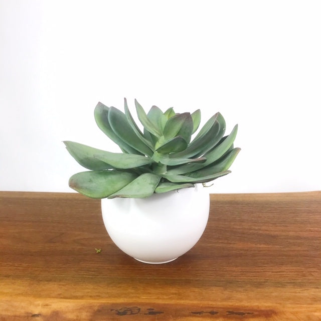 Green Echeveria w/Luna Pot