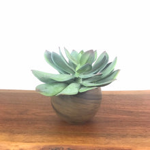 Load image into Gallery viewer, Green Echeveria w/Luna Pot