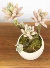 Load image into Gallery viewer, Desert Rose Succlent w/Luna Pot