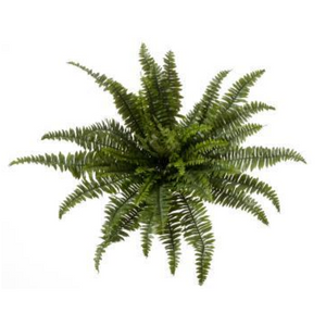 "Boston Fern 30""x 26""h"
