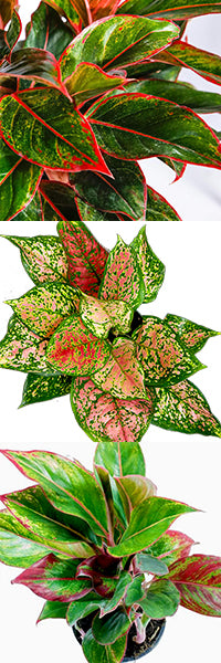 Colorful Aglaonema