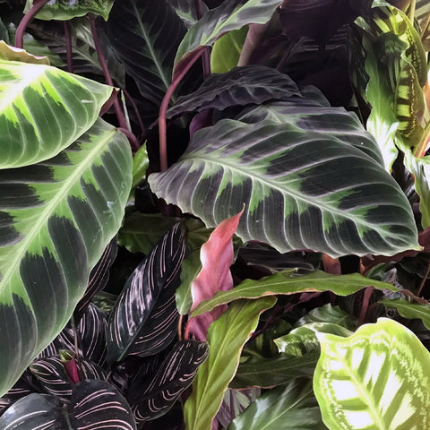 Different and amazing Calatheas