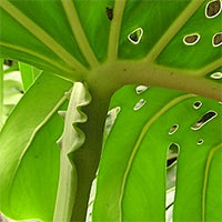 Monstera deliciosa wrinkles