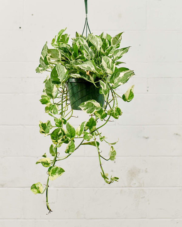 HANGING BASKET PLANTS