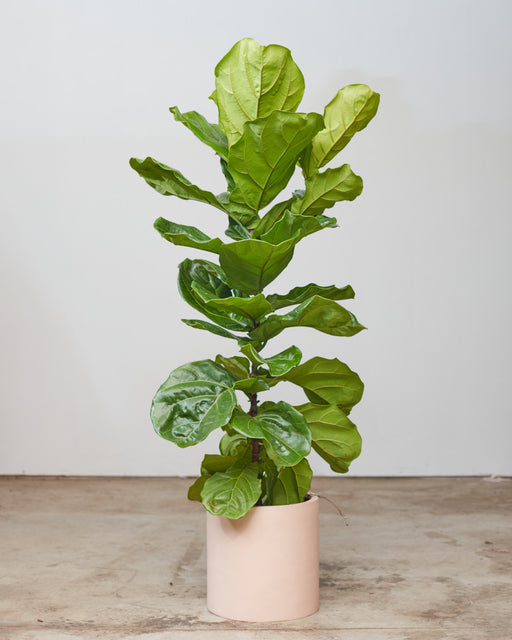 "FIDDLE-LEAF FIG (FICUS LYRATA COLUMN) 10"" Grower Pot (~ 5' tall)"