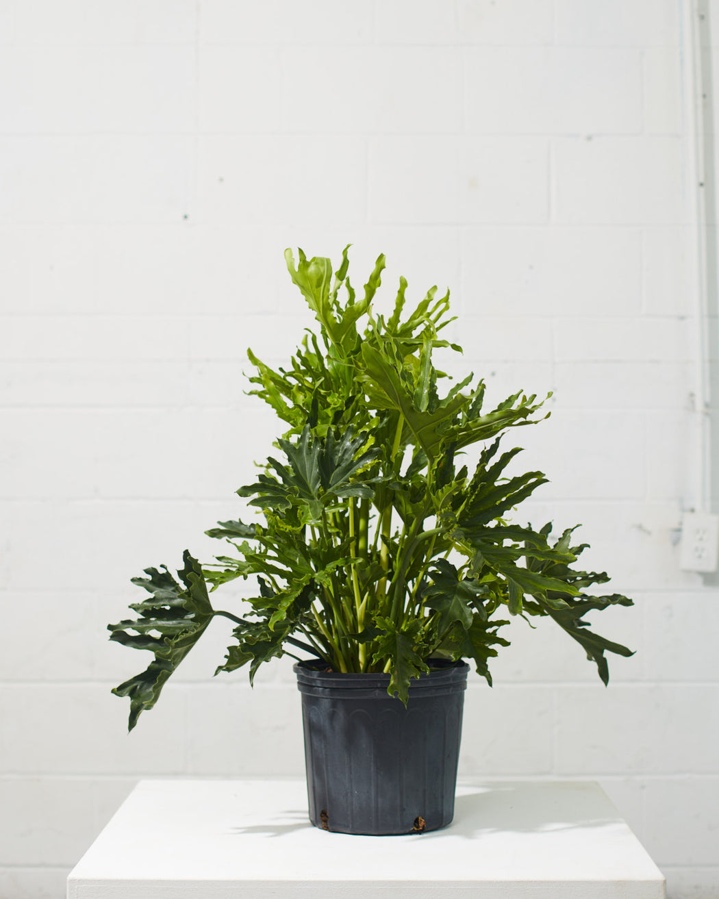 "PHILODENDRON 'SELLOUM HOPE' 10"" Grower Pot"