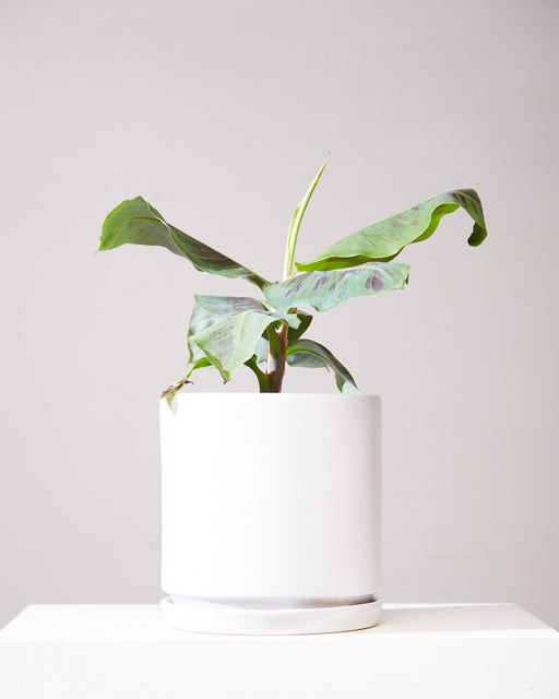 "BANANA PLANT 'DWARF CAVENDISH' 10"" Grower Pot"