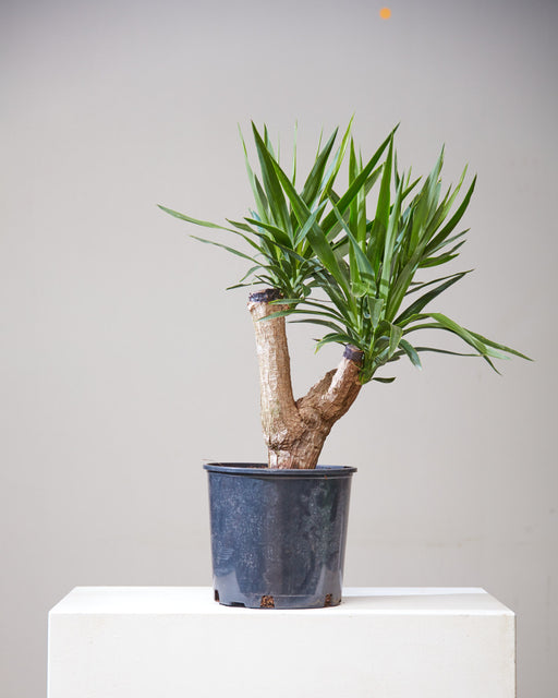 "DRACAENA YUCCA STUMP 10"" Grower Pot (2' tall)"