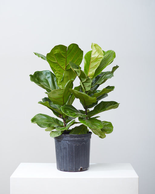 "FIDDLE-LEAF FIG (FICUS LYRATA BUSH) 10"" Grower Pot (2.5 ft tall)"