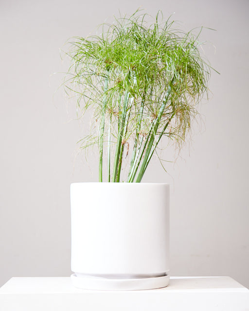 "PAPYRUS GRASS 10"" Grower Pot"