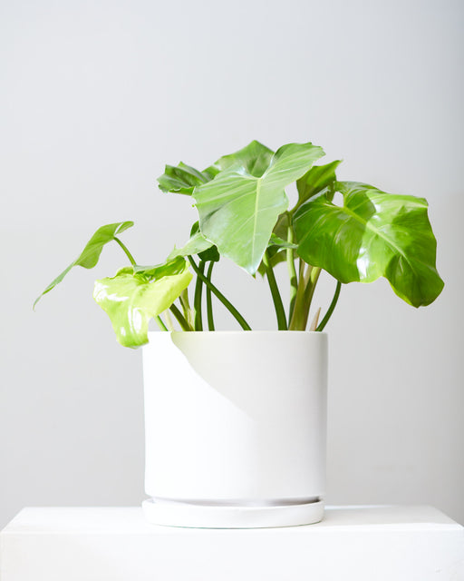 "PHILODENDRON WILSONII 10"" Grower Pot"