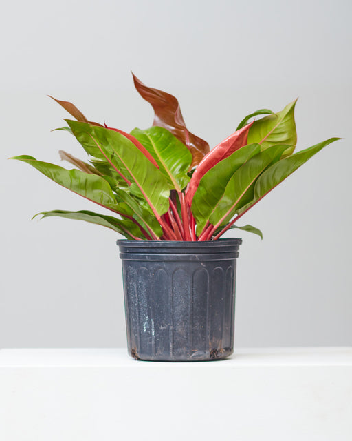 "PHILODENDRON 'PRINCE OF ORANGE' 10"" Grower Pot"
