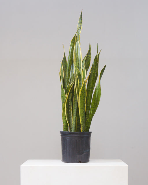 "SNAKE PLANT (SANSEVIERIA 'LAURENTII') 10"" Grower Pot (2.5-3ft tall)"
