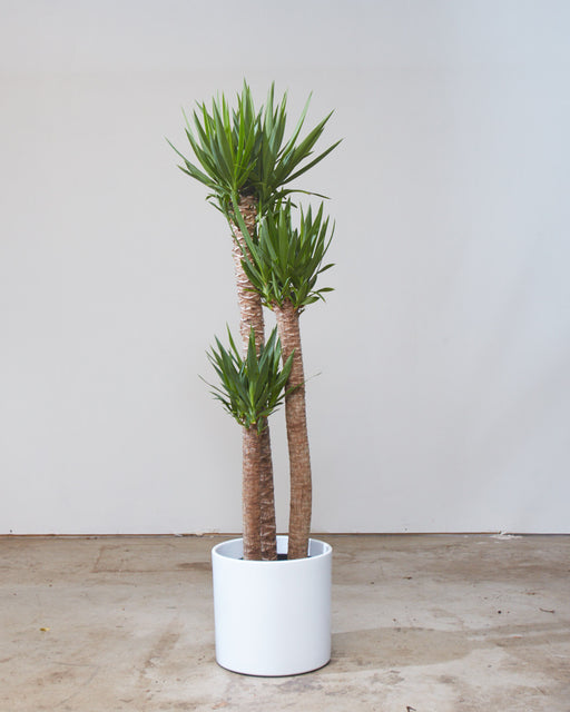 "DRACAENA YUCCA 3-2-1 10"" Grower Pot (4.5-5ft tall)"