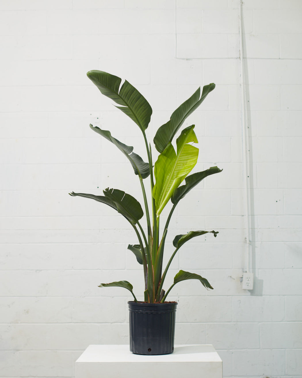 "'BIRD OF PARADISE' (STRELITZIA NICOLAI) 12"" Grower Pot (5ft tall)"