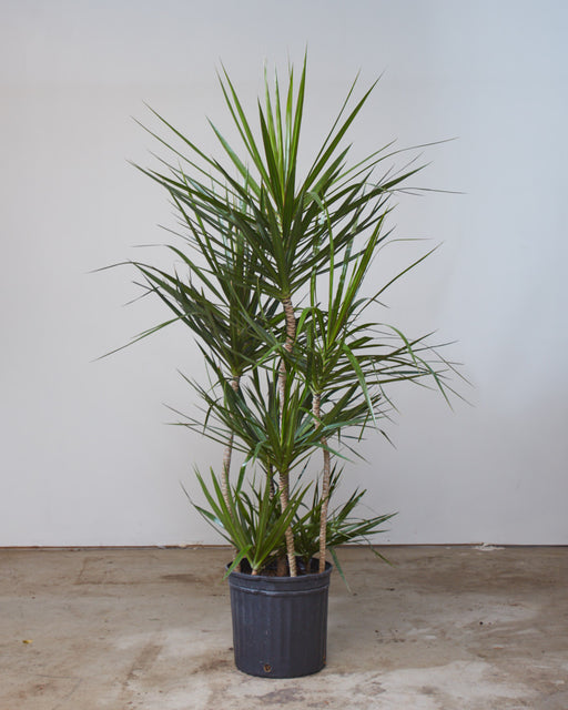 "DRACAENA MARGINATA STAGGERED 12"" Grower Pot (5 - 5.5 ft tall)"
