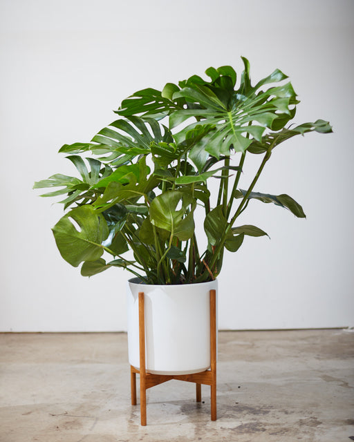 "MONSTERA 12"" Grower Pot"