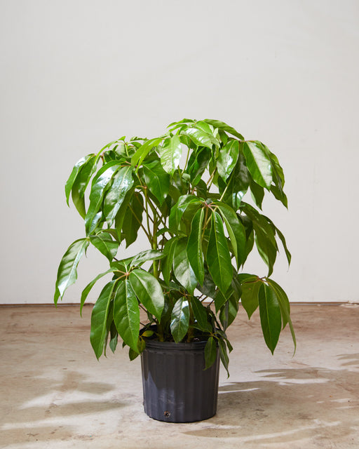 "SCHEFFLERA AMATE 14 Inch. Grower Pot (4'4"" tall) *1 ONLY*"
